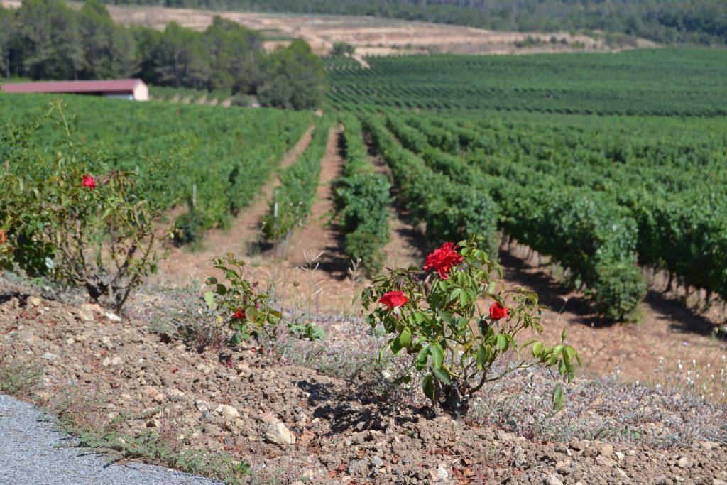 Vinmark fra Chateau Roubine i udkanten af Lorgues