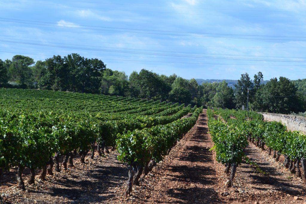 En af de mange vinmarker, vi nærmest har i baghaven