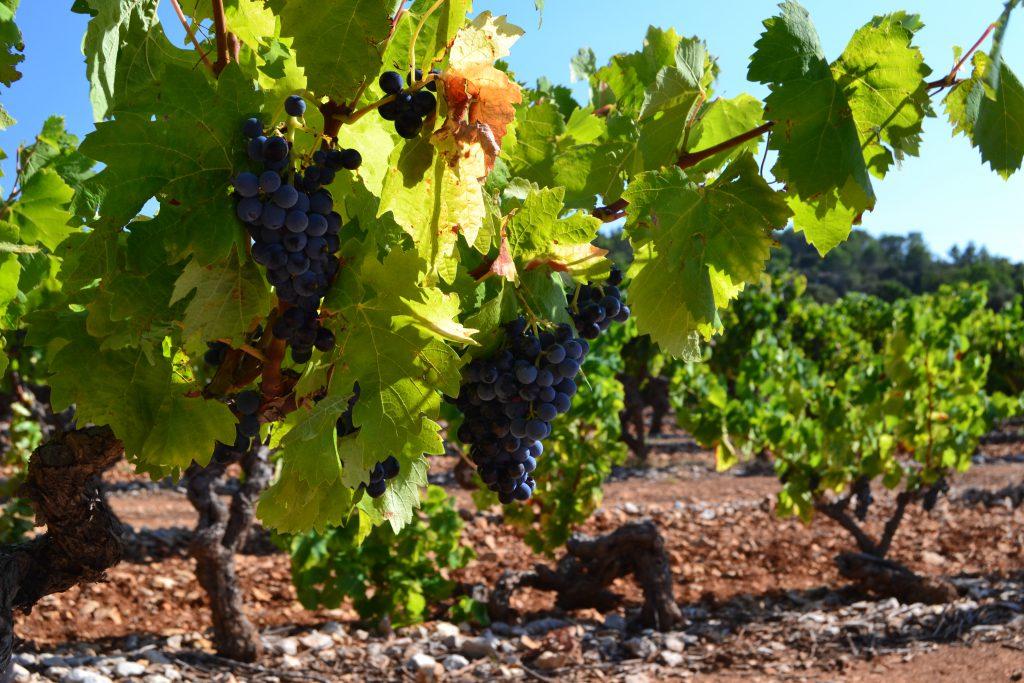 Billedet af denne vinmark er taget i efteråret kort før vinhøsten på en af Chateau L'Arnaude's marker lige uden for Lorgues. Og her får vi jo faktisk rabat som medlemmer af Club Danois.