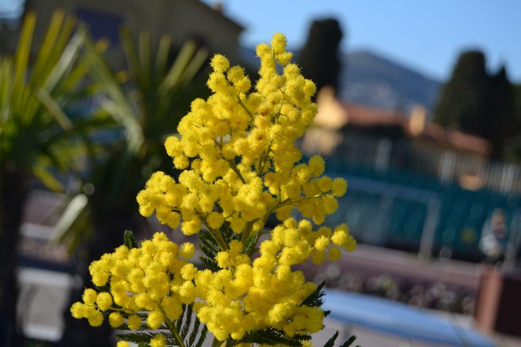 De er bare så fantastisk flotte, mimoserne, når de står i fuldt flor. Desværre er det kortvarigt